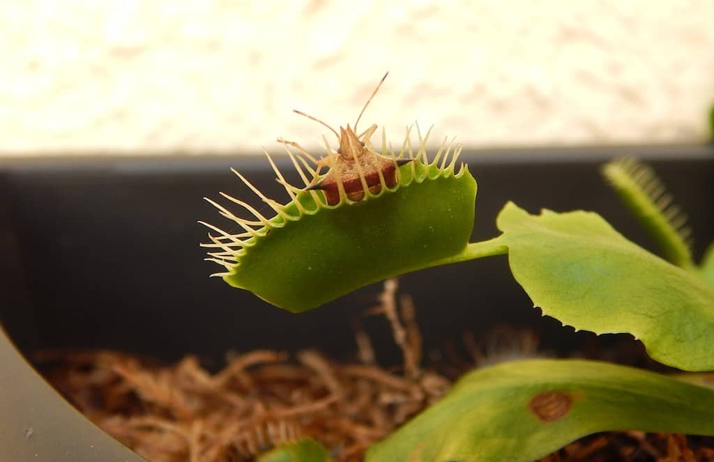 Can You Overfeed a Venus Flytrap?