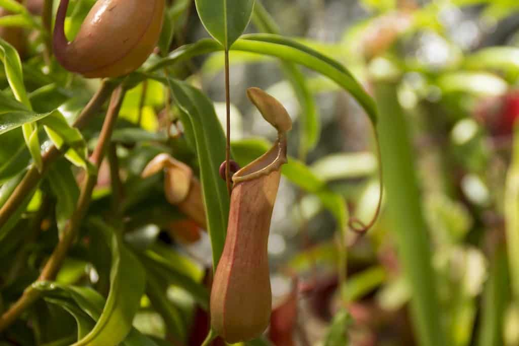 How to Care for a Hanging Pitcher Plant: A Complete Guide