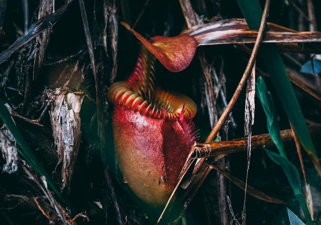 How to Take Care of a Pitcher Plant in the Winter