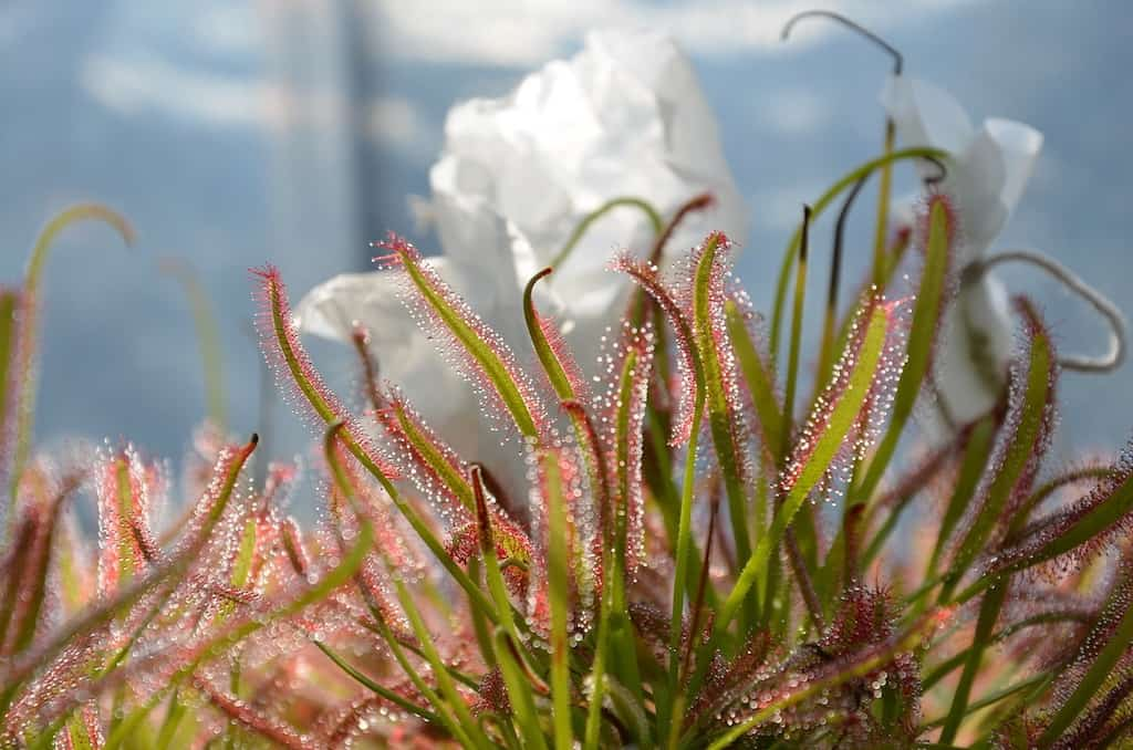 How to Take Care of a Sundew Correctly