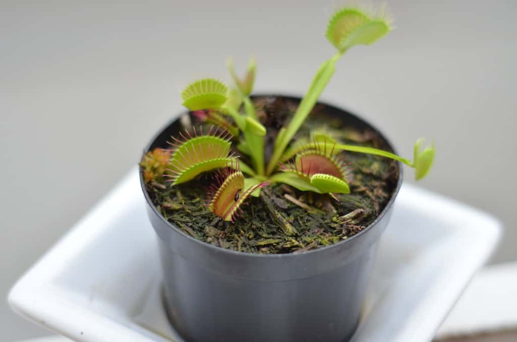 Why the Venus Flytrap is Called That: A Brief History