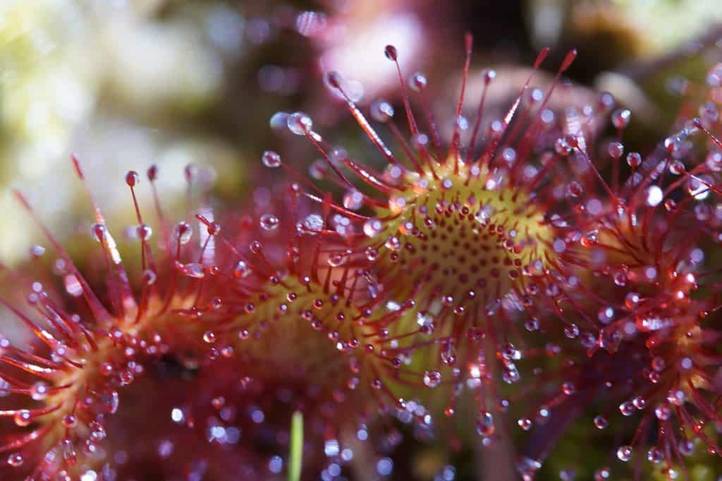 3 Reasons There's No Dew on Your Sundew