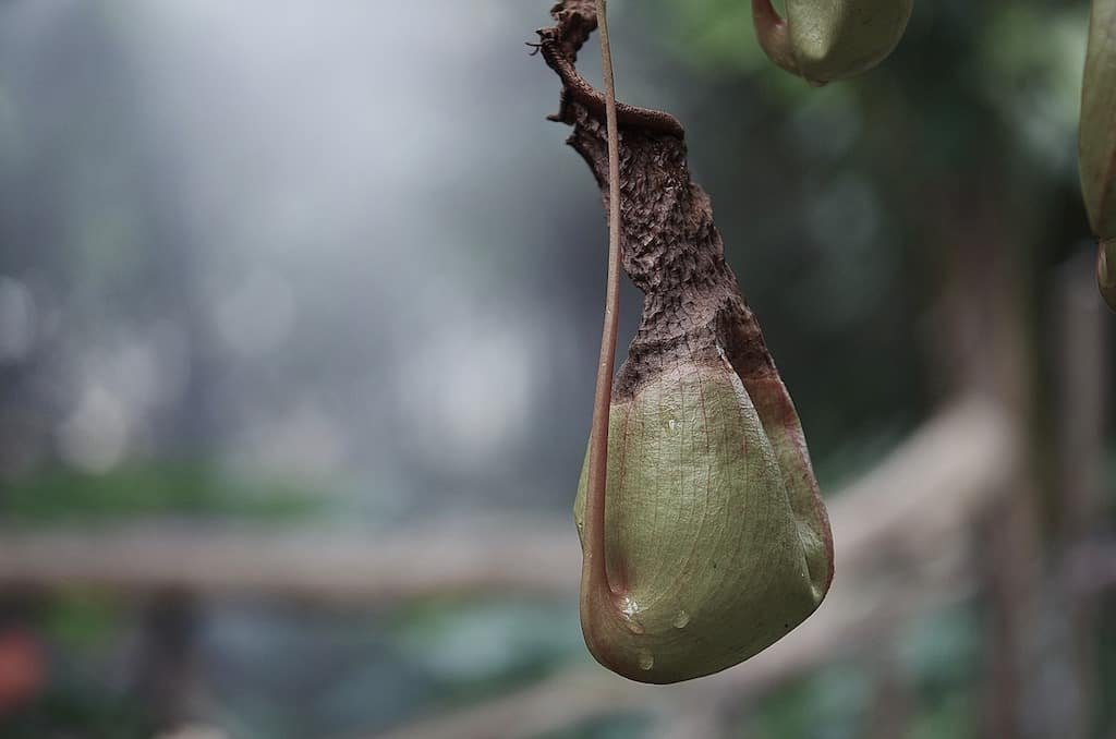 3 Signs That Your Pitcher Plant is Dying