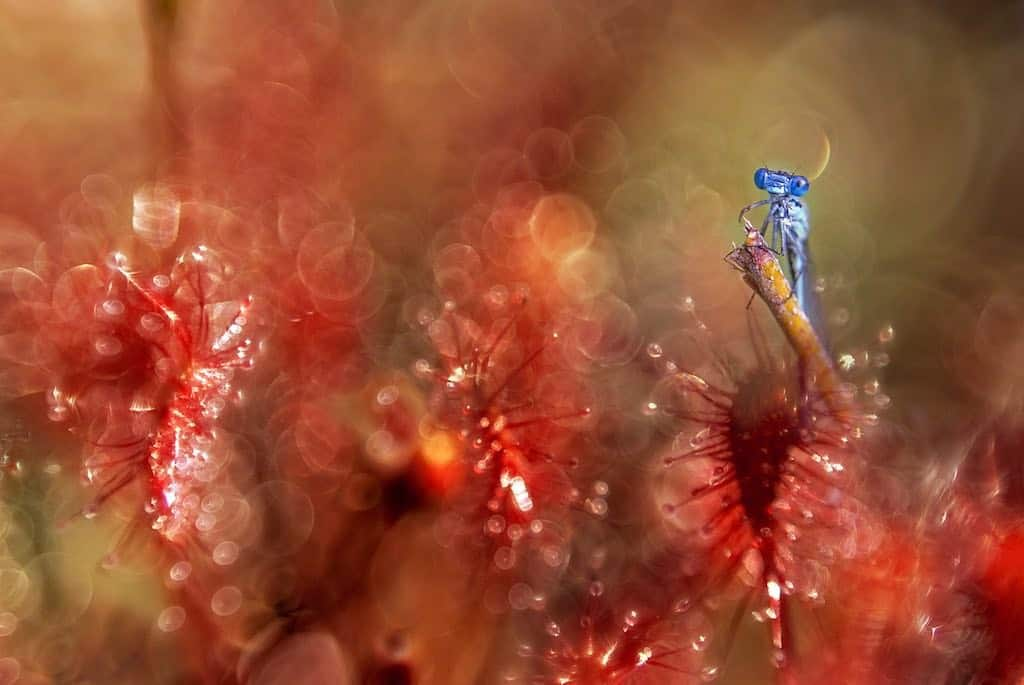 Can You Overfeed a Sundew?