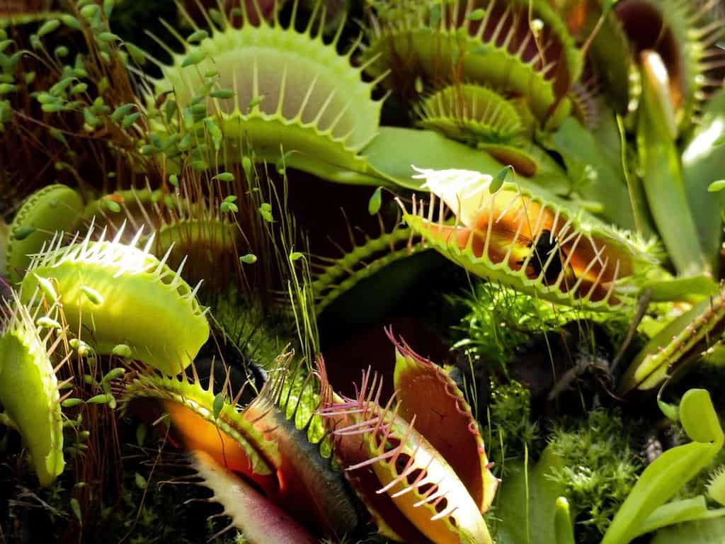 How to Feed Dead Bugs to a Venus Fly Trap  (4 Easy Steps)